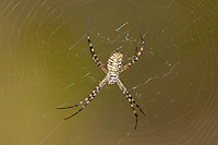 389900002 a wild banded garden spider argiope trifasciata perches in its web at southeast regional park in austin travis county texas united states