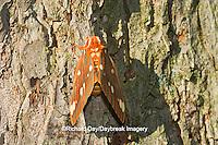 04001-00203 Regal Moth (Citheronia regalis) Marion Co.  IL