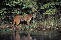 Cougar/Mountain Lion/Puma (Felis concolor) hunts along edge of stream in Spring, Rocky Mountains, North America.