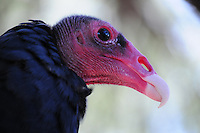 Superior, Arizona (September 21, 2014) -- A close-up view of turkey vulture under the care of the Arizona State Park system. As September 20 brings the Autumn Equinox, marking the end of the summer, a flock of turkey vultures that make the Boyce Thompson Arboretum in Superior, Arizona their home from March to September each year, are about to begin their annual migration.  Photo by Eduardo Barraza © 2014