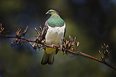A New Zealand Wood Pigeon or Kereru perches on a dried flax flowerhead.