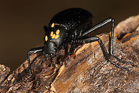 "Darkling AKA ""Darkening"" Beetle carrying yellow eggs from some unknown species.."