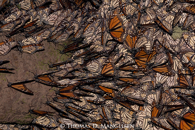 Monarch Butterflies over-wintering at El Rosario Monarch Butterfly Sanctuary in Michoacan, Mexico.