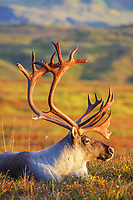 Bull caribou bedded down on autumn Tundra in Denali National Park, Alaska
