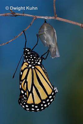 MO04-502A    Monarch emerging from chrysalis,  Danaus plexipuss