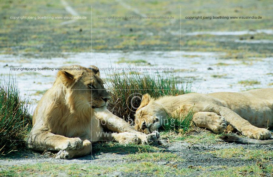 TANZANIA Nationalpark Serengeti , lion / TANSANIA Nationalpark Serengeti , Loewe