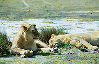 TANZANIA Nationalpark Serengeti , lion / TANSANIA Nationalpark Serengeti , Loewe