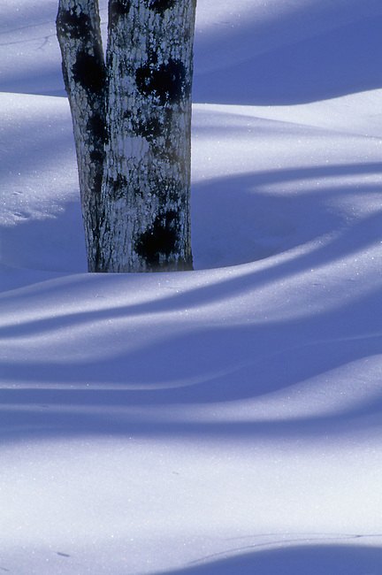 Tree trunks cast long blue winter shadows on the snow covered forest floor in Ottawa National Forest, Gogebic County, Michigan