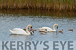 Swans and their cygnets near Blennerville on Friday.