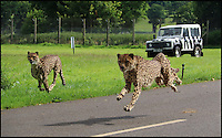BNPS.co.uk (01202 558833)<br /> Pic: CalebHall/Longleat/BNPS<br /> <br /> Parents Carl and Wilma.<br /> <br /> A rare pair of cheetah cubs have ventured outside for the first time at Longleat Safari Park.<br />  <br /> Thirteen-week-old cubs Poppy and Winston, who were named by the public, are the first to have been born at the Wiltshire wildlife attraction, which celebrates its 50th anniversary this year.<br />  <br /> The pair, both still sporting Mohican-style juvenile fur, were allowed outside to explore their paddock under the watchful eye of mum Wilma.