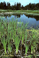 PO01-011z  Pond with cattails