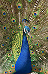 Peacock Display Indian Blue Peacock Southern California