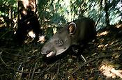 Anta Tapirus Terrestris
