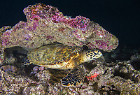 hawksbill sea turtle, Eretmochelys imbricata, resting - wedeges itself under a slab of dead coral to sleep for the night, Mahe, Seychelles, Indian Ocean