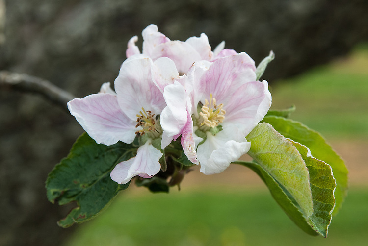Blossom of Apple 'Grantonian', early May. A large 19th century English culinary apple from Notingham. First recorded in 1883.
