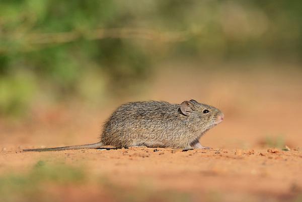 Hispid Cotton Rat (Sigmodon hispidus), adult, South Texas, USA