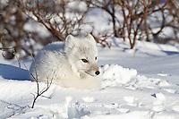 01863-01107 Arctic Fox (Alopex lagopus) in snow in winter, Churchill Wildlife Management Area, Churchill, MB Canada