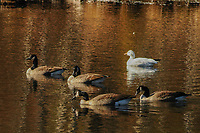 Four Canada Geese and one Snow Goose on Delgian Pond in the Wilton Park And Preserve in New York