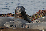 sub-adult bull elephant seal