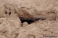 0215-08vv  Meerkat burrow, Suricata suricatta © David Kuhn/Dwight Kuhn Photography