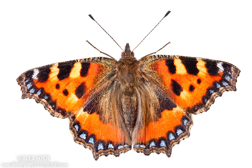 Small Tortoiseshell butterfly {Aglais urticae} resting with wings open on a white background. Peak District National Park, Derbyshire, UK. September.