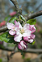 "Blossom of Apple 'Roxbury Russet' (syn. 'Boston Russet'), late April. A very old heritage American dessert apple, thought to date back to Roxbury, Massachusetts in the early 1600s. In fact, it is ""generally recognised to be the oldest apple variety which originated in North America, and its history can be traced back to the colonial era.  It is very probably a seedling of an apple variety brought over by early settlers from Europe"". www.orangepippin.com"