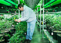 Operations Manager Frank Best (cq) at the Medicine Man grow house in Denver, Colorado, Tuesday, March 5, 2013. With Colorado's Amendment 64, the state has been working to decide how it will transition to legalized marijuana in the state...Photo by Matt Nager