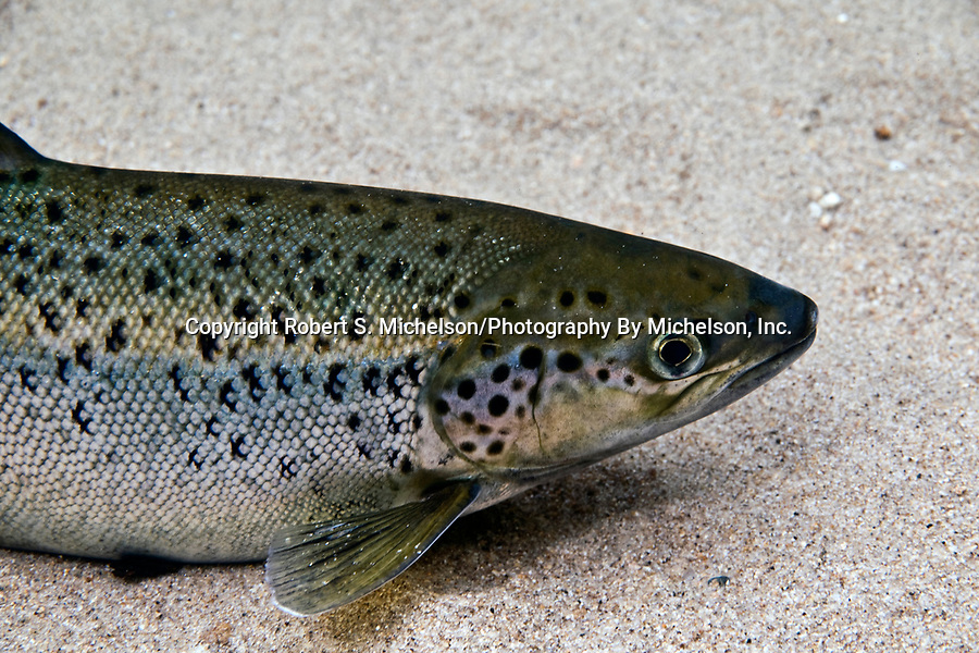 Landlock Atlantic Salmon, Lake Winnipesaukee, NH, close-up female