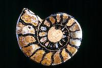 PYRITIZED FOSSIL: Ammonites Pleuroceras<br /> Jurassic period