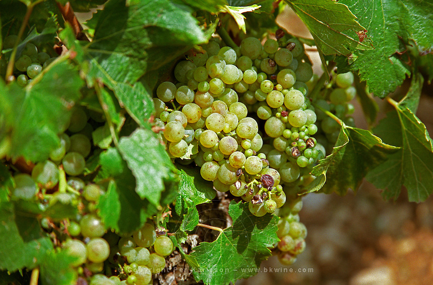 Chardonnay grapes, a bit damaged by colure (a disease) and heat, in a Montrachet vineyard