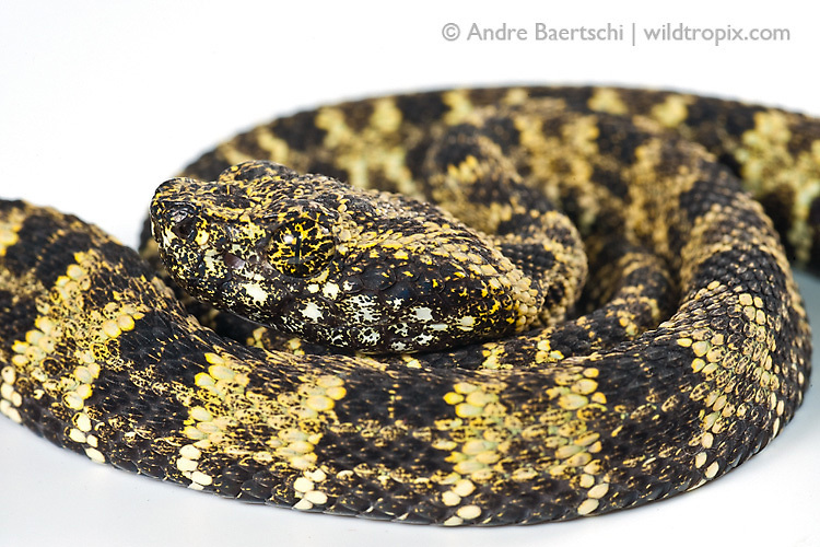 Speckled forest-pitviper (Bothrops taeniatus), juvenile from San Martin, Peru.