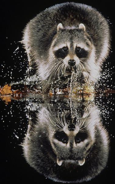 Northern Raccoon (Procyon lotor), adult running through water, Raleigh, Wake County, North Carolina, USA