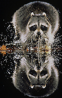 Northern Raccoon (Procyon lotor), adult running through water, Raleigh, Wake County, North Carolina, USA