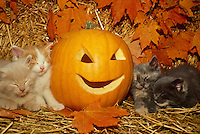 Four kittens sleeping in fluffy piles around Jack O'lantern for halloween, Midwest USA