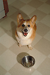 Corgi, Pembroke, Welsh<br /> <br /> <br /> Shopping cart has 3 Tabs:<br /> <br /> 1) Rights-Managed downloads for Commercial Use<br /> <br /> 2) Print sizes from wallet to 20x30<br /> <br /> 3) Merchandise items like T-shirts and refrigerator magnets