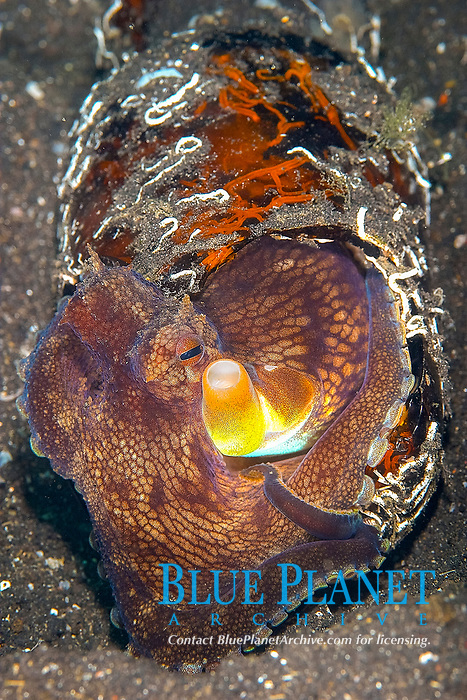 Small common octopus (octopus cyanea) using a discarded beer bottle as a den , Hairball satu, Lembeh strait, Celebes sea, Pacific Ocean, Sulawesi, Indonesia, Asia