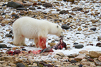 01874-12909 Polar bear (Ursus maritimus) eating Ringed Seal (Phoca hispida)  in winter, Churchill Wildlife Management Area, Churchill, MB Canada