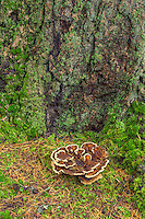 ORPTH_130 - USA, Oregon, Portland, Hoyt Arboretum, Mushroom growing at mossy base of Douglas fir tree.