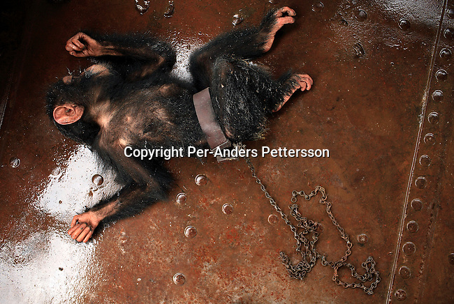 KISANGANI, DEMOCRATIC REPUBLIC OF CONGO MARCH 9: Dola, a chimpanzee, who was bought for $25, rests on the deck of a boat on March 9, 2006 in Kisangani, in Congo, DRC. Dola died a day later from an unknown disease. Many animals are taken to Kinshasa and sold as pets or for the meat. The Congo River is a lifeline for millions of people, who depend on it for transport and trade. The journey from Kisangani to Kinshasa is about 1750 kilometers, and it takes from 3-7 weeks on the river, depending on the boat. During the Mobuto era, big boats run by the state company ONATRA dominated the traffic on the river. These boats had cabins and restaurants etc. All the boats are now private and are mainly barges that transport goods. The crews sell tickets to passengers who travel in very bad conditions, mixing passengers with animals, goods and only about two toilets for five hundred passengers. The conditions on the boats often resemble conditions in a refugee camp. Congo is planning to hold general elections by July 2006, the first democratic elections in forty years..(Photo by Per-Anders Pettersson/Getty Images)..
