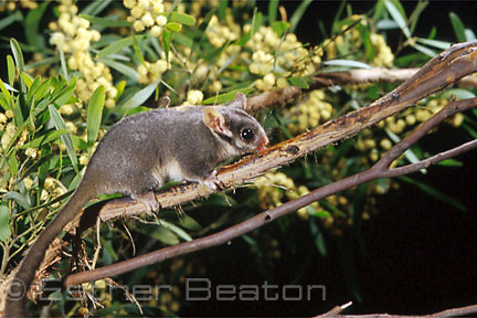 Leadbeater's Possum (Gymnobelideus leadbeateri) central Victoria, with Acacia  blossoms in bkgd. Endangered species