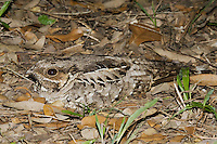 Common Pauraque (Nyctidromus albicollis), adult on nest, Sinton, Corpus Christi, Coastal Bend, Texas, USA