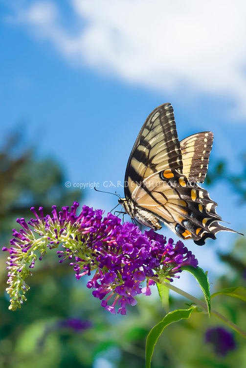 Swallowtail butterfly on Buddleia Buddleja davidii Harlequin butterfly bush, blue sky