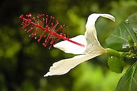 native white hibiscus, kokio keokeo (Hibiscus arnottianus A. Gray)