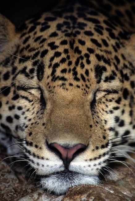 Mexico, Chiapas, mammal, jaguar, feline, laying, rest, sleep, front