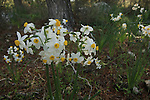Israel, Shephelah, Narcissuses flowers (Daffodils) by the Burma Road