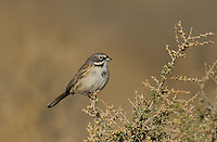 578830027 a wild sage sparrow amphispiza belli nevadensis perches on a sagebrush branch in kern county california