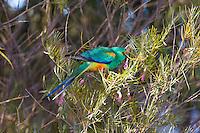 Mulga Parrot, Arid Lands Botanic Garden, Pt Augusta, SA, Australia