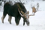 Moose. Alces alces   Monarch of the North