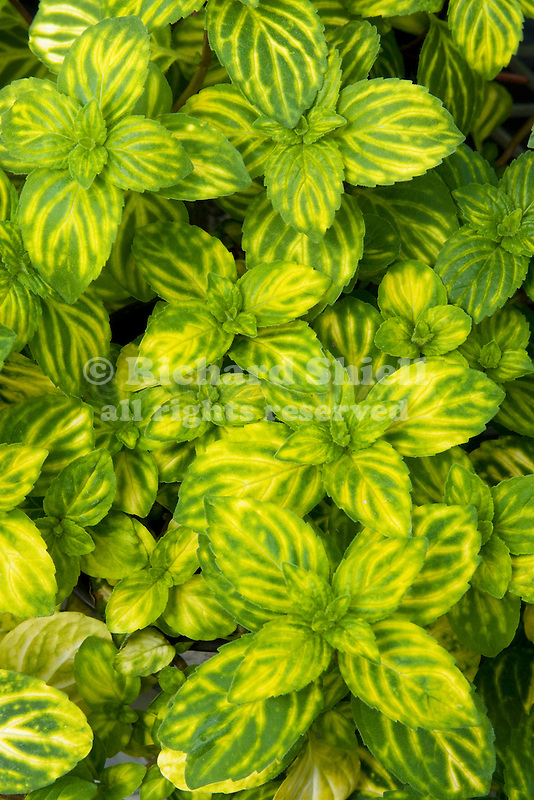 EMERALD AND GOLD MINT, MENTHA SPICATA