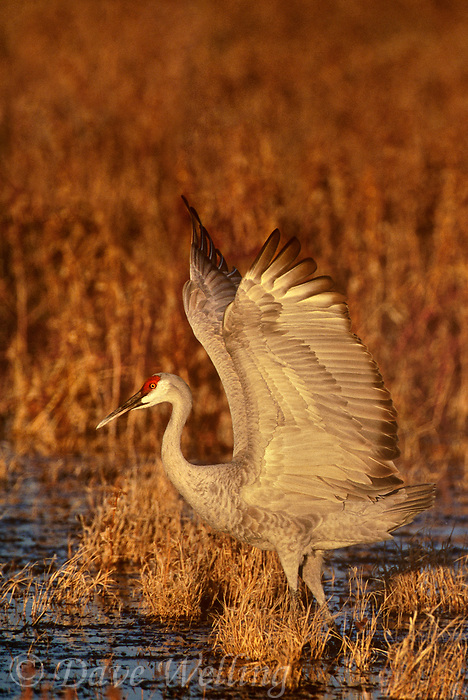 512666354vf a wild sandhill crane grus canadensis flaps its wings while standing in a shallow pond at its overwintering home in bosque del apache national wildlife refuge new mexico